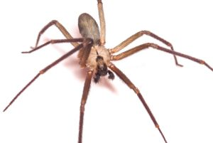Brown Recluse Spiders: How to avoid & First Aid for Bites