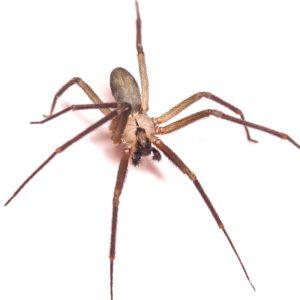 brown recluse spider