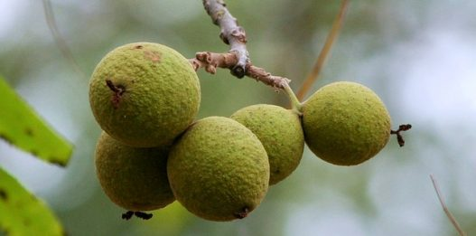 How to Make Green Black Walnut hull Tincture (Extra Strength by Dr.Hulda Clark)
